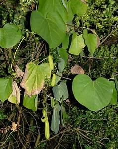 Pflanze Mit Großen Blättern : aristolochia ~ Michelbontemps.com Haus und Dekorationen