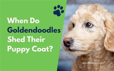 shedding puppy coat when do goldendoodles shed their puppy coat