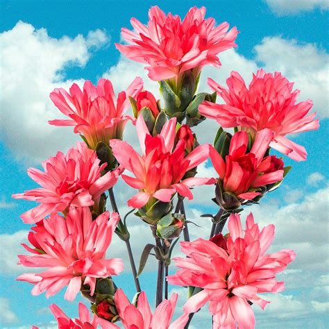 Nelken Pflanzen Kaufen by Garten Nelke Tiara 174 Coral Pink Kaufen Bei G 228 Rtner