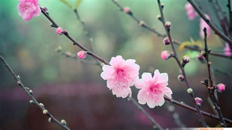 Cherry Blossom Image by Wallpapers Wallpaper 20 Asian Cherry Blossom Flower