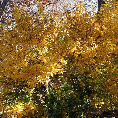 trees that turn yellow in fall trees and shrubs trees and names on pinterest