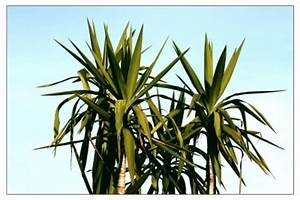 Yucca Palme Pflege : wie sie ihre yucca palme richtig umtopfen yucca palme pflege ~ Eleganceandgraceweddings.com Haus und Dekorationen