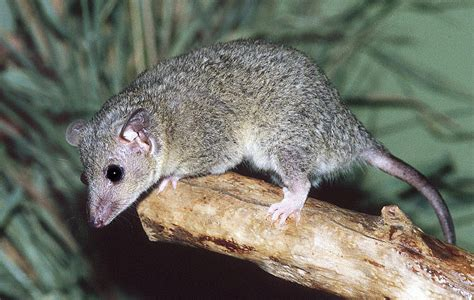 tailed opossum short tailed opossum scales n tails