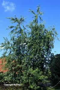 Ahorn Frucht Name : gehlhaar gartenbaumschule hannover pflanzen laubb ume geschlitzter silber ahorn acer ~ Frokenaadalensverden.com Haus und Dekorationen