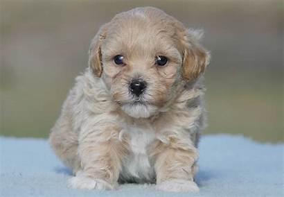 Moodle Puppies Breed Puppy Designer Dogs Chevromist