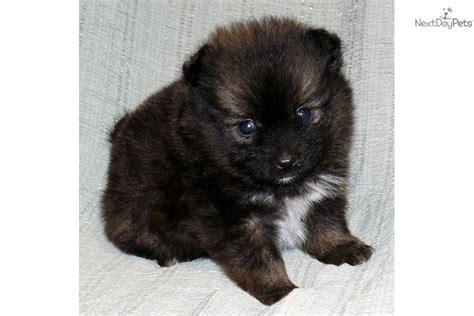 pomeranian puppy  sale  springfield missouri