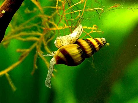 pet snail fish keeping