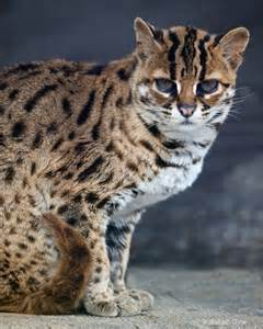 leopard cats asian leopard cat felis bengalensis to be 2 photograph