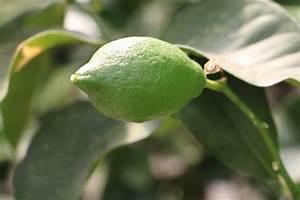 Zitronenbaum Gelbe Blätter : zitronenbaum grundlagen der pflege der zitrone ~ Lizthompson.info Haus und Dekorationen