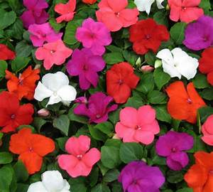 The end of impatiens? - Gardening