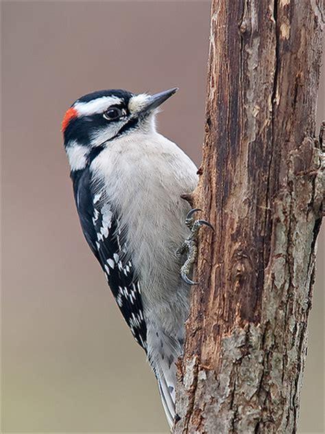 downy woodpecker flickr photo sharing