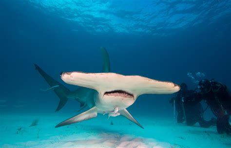 habitat si e social tiburón martillo sphyrna zygaena fundación cram