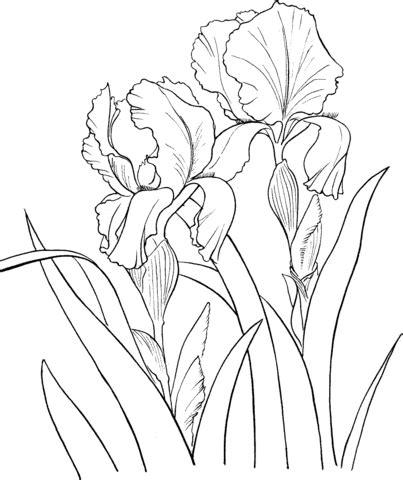 disegno  giaggiolo maggiore  iris germanica da colorare