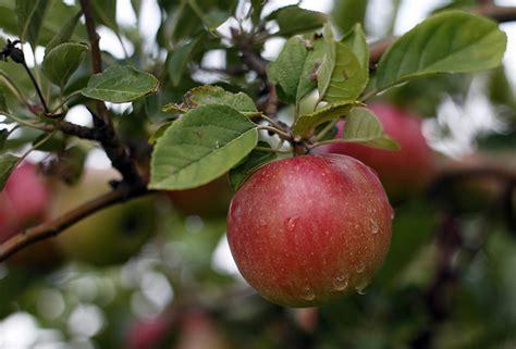 Apple harvest for food bank requires crop of volunteers ...