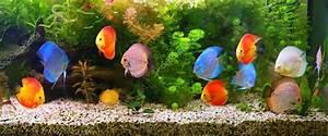 Süßwasserfische Fürs Aquarium : diskus symphysodon bunten cichliden im aquarium ~ Lizthompson.info Haus und Dekorationen