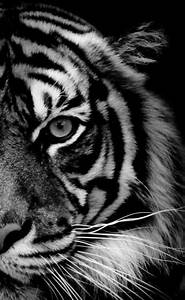 32 best images about Black and White Tigers on Pinterest ...