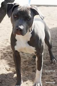 Pitbull Dog Grey And White | Awsom. Stuff. For. Audrey ...