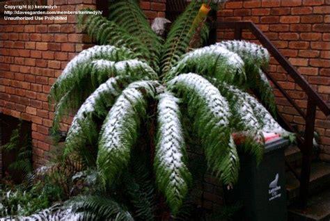 plantfiles pictures man fern soft tree fern tasmanian
