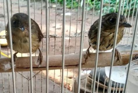 Untuk perkutut jantan belahan ini sejajar dengan mata namun pada perkutut betina ciri burung jantan untuk bulu bagian kepala akan terlihat lebih cerah dibanding betina. Paling Keren 20+ Gambar Burung Flamboyan Jantan Dan Betina ...