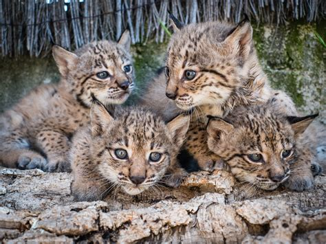 lynx iberian endangered captive breeding program andalusian return sun under cgtn conservation reintroduced started 2002 since wild credit close been