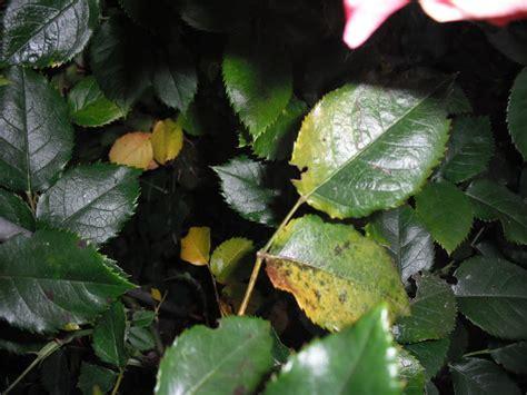 rosen gelbe blätter gelbe bl 228 tter an mein sch 246 ner garten forum