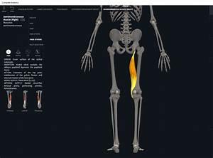 Muscles  Semimembranosus   U2013 Anatomy  U0026 Physiology