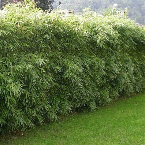 les 25 meilleures id 233 es de la cat 233 gorie haie bambou sur jardini 232 re en bambou haie