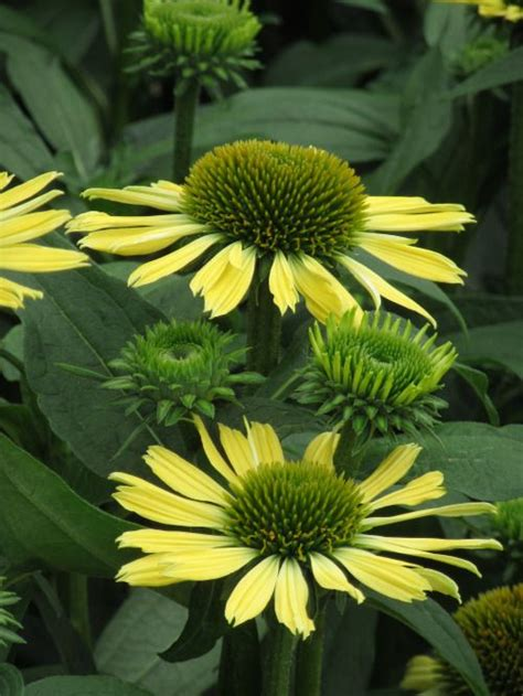 echinacea shiny yellow at rhs wisley great gardens ideas pinterest gardens yellow and