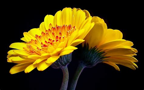 yellow flowers wallpaper  laptop