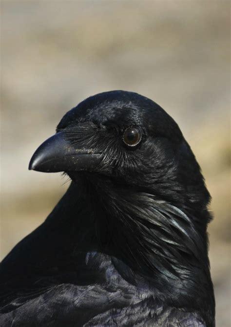 rid  crows thriftyfun