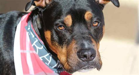 rottweiler pitbull mix perfect puppy  gorgeous guard dog