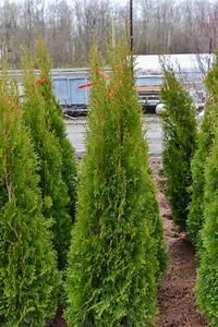 Thuja Smaragd Düngen : american arborvitae 39 smaragd 39 plants4home ~ Michelbontemps.com Haus und Dekorationen
