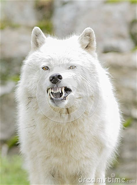 aggressive arctic wolf royalty  stock images image