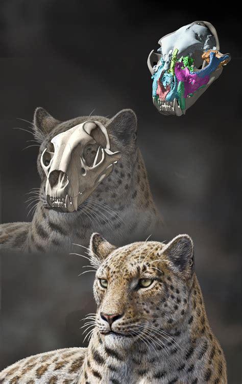 fossil find clears  big cat origins