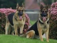 german shepherds images  pinterest animal