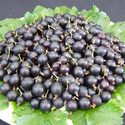 «Josta» - Organic Jostaberry Seeds - Shipping is free for ...