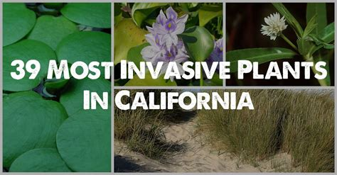 the 39 most invasive plant species in california epic