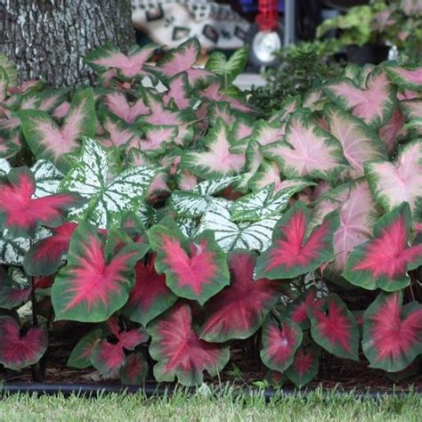 when do caladiums bloom this caladium mix can stand up to the heat and give you great color in your garden throughout