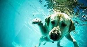 ¡Vamos a nadar! Perro Labrador Retreiver