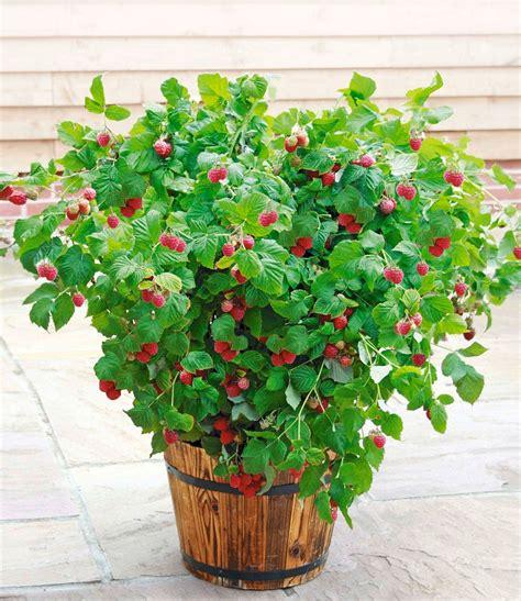 Garten Pflanzen Himbeeren by Topf Himbeere Ruby 174 Pflanzen Erdbeeren