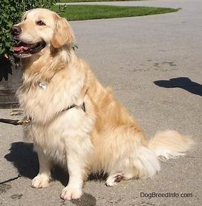 Golden Red River : golden retriever dog breed information and pictures ~ Orissabook.com Haus und Dekorationen