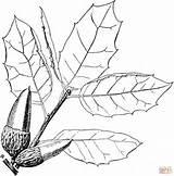 Coloring Oak Coast Tree Printable Drawing Trees Oaks Getdrawings Supercoloring Leaf Dark sketch template