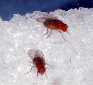 Fruchtfliegen Im Bad : mainz fruchtfliegen reagieren auf stress hnlich wie ~ Lizthompson.info Haus und Dekorationen