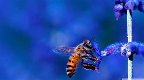 honey bee blue lavender flowers  hd desktop wallpaper   ultra hd tv wide ultra
