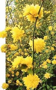 Busch Mit Gelben Blüten : pflanztipp reizvolle bl ten aus fernost ~ Frokenaadalensverden.com Haus und Dekorationen