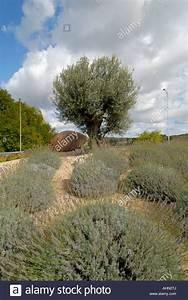 Gros Pot Pour Olivier : olivier pot en terre cuite et de lavandes sur le rond point de circulation chatellerault ~ Melissatoandfro.com Idées de Décoration