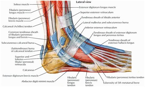 What is the anatomical name of the prayer muscle. Calf muscles and tendons   muscles   Pinterest   Arches, The muscle and Ankle bones