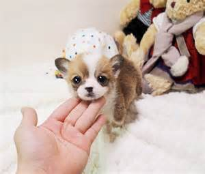 Mini Welsh Corgi Teacup Puppies