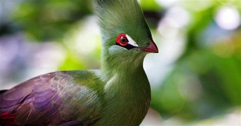 Turaco3 The 10 Most Beautiful Exotic Birds In The World