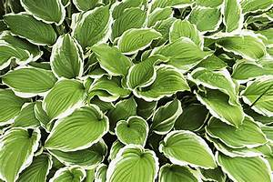 Plantes D Ombre Extérieur : plantes vivaces couvre sol vivaces d 39 ombre plantes ~ Melissatoandfro.com Idées de Décoration